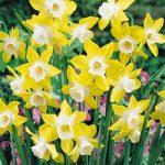 Pipit Jonquilla Daffodil – 10 bulbs