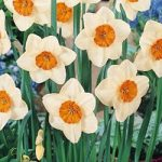 Kiss Proof Large Cup Daffodil – 10 bulbs