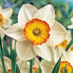 Flower Record Large Cup Daffodil – 10 bulbs