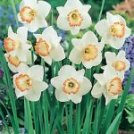 Spring Pride Large Cup Daffodil – 10 bulbs