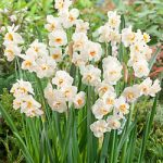 Sir Winston Churchill Double Daffodil – 10 bulbs
