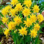 Rip Van Winkle Double Daffodil – 10 bulbs
