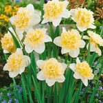 Ice King Double Daffodil – 10 bulbs