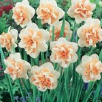 Delnashaugh Double Daffodil – 10 bulbs