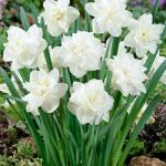 White Medal Double Daffodil – 10 bulbs