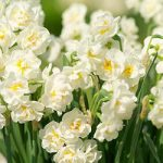 Bridal Crown Double Daffodil – 10 bulbs