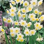 Fruit Cup Jonquilla Daffodil – 10 bulbs
