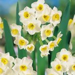 Avalanche Tazetta Daffodil – 10 bulbs