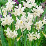 White Thalia Triandrus Daffodil – 10 bulbs
