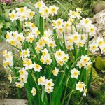Minnow Small Cup Daffodil – 10 bulbs