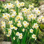 Minnow Small Cup Daffodil – 10 bulbs