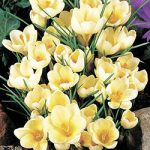 Cream Beauty Species Crocus – 10 bulbs