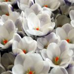 Prins Claus Species Crocus – 10 bulbs