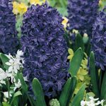 Peter Stuyvesant Hyacinth – 10 bulbs
