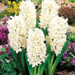 Carnegie Hyacinth – 10 bulbs