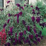 Nanho Purple Buddleia – 10 root divisions