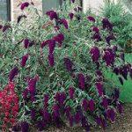 Nanho Purple Buddleia – 10 root divisions