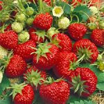 Ft. Laramie Everbearer Strawberry Plants – 10 root divisions
