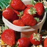 Sequoia Junebearer Strawberry Plants – 10 root divisions