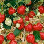 Honeoye Junebearer Strawberry Plants – 10 root divisions