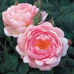 Scepter'd Isle David Austin® Rose – 1 bare root plant