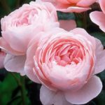 Queen of Sweden David Austin® Rose – 1 bare root plant