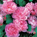 Mary Rose David Austin® Rose – 1 bare root plant