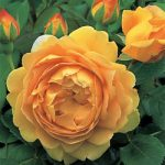 Golden Celebration David Austin® Rose – 1 bare root plant