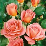 Tiffany Hybrid Tea Rose – 1 bare root plant
