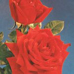 Red Masterpiece Hybrid Tea Rose – 1 bare root plant