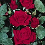 Olympiad Hybrid Tea Rose – 1 bare root plant