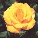 Gold Glow Hybrid Tea Rose – 1 bare root plant
