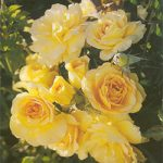 Sunsprite Floribunda Rose – 1 bare root plant