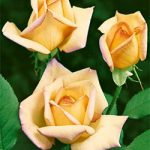 Peace Climbing Rose – 1 bare root plant