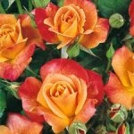 Joseph's Coat Climbing Rose – 1 bare root plant
