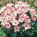 Pink Carpet Oxalis – 25 bulbs