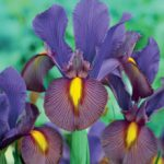 Eye of the Tiger Dutch Iris – 10 bulbs