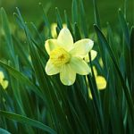 Pueblo Jonquilla Daffodil – 10 bulbs