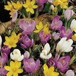 Mixed Species Crocus – 10 bulbs