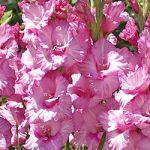 Romance Gladiolus – 5 bulbs