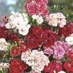 Dianthus chinensis – Chinese Pink Bulk Seed – 1 pound