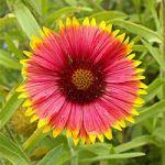 Seed – Bulk – Gaillardia pulchella – Annual Gaillardia