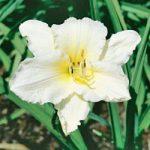 Joan Senior Daylily – 10 root divisions