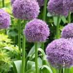 Globemaster Allium – 3 bulbs