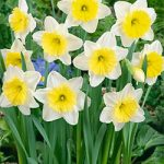 Ice Follies Large Cup Daffodil – 10 bulbs