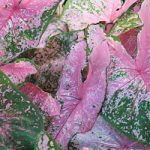 Pink Beauty Fancy Leaved Caladium – 3 tubers