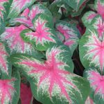 Rosebud Fancy Leaved Caladium – 3 tubers