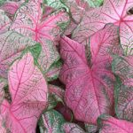 Fannie Munson Fancy Leaved Caladium – 3 tubers
