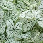 Candidum Fancy Leaved Caladium – 3 tubers