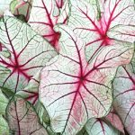 White Queen Fancy Leaved Caladium – 3 tubers